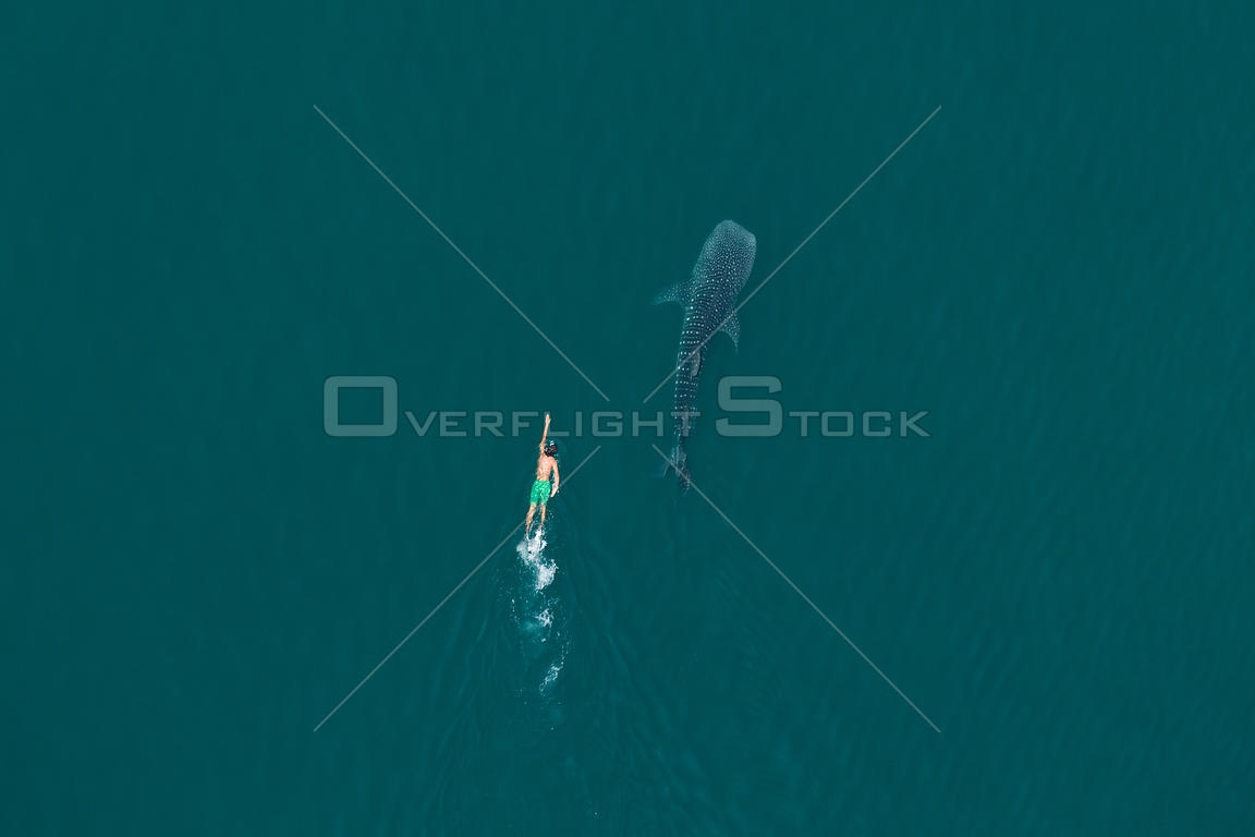 Whale shark (Rhincodon typus) aerial view of juvenile with man swimming, La Paz Bay, Sea of Cortez (Gulf of California), Baja...