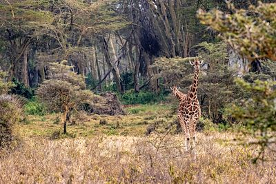 Rothschild Giraffe Walking Through Lake Nakuru Kenya