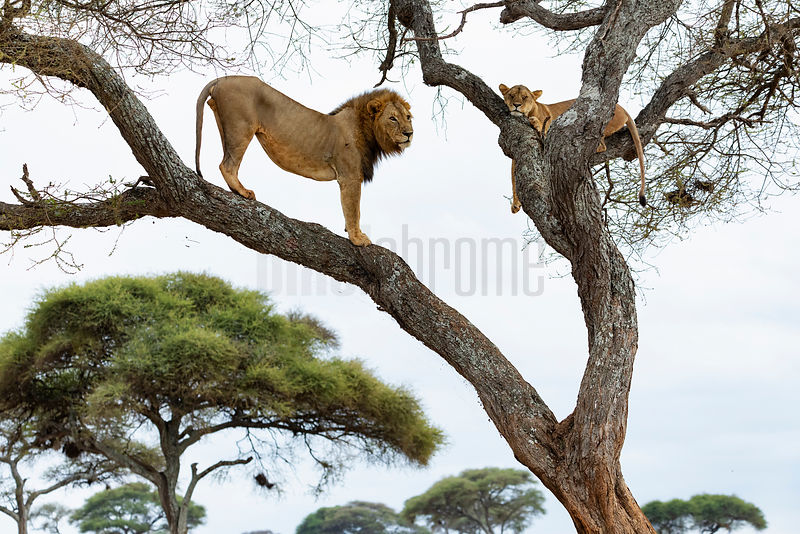 Male Lion Waiting Patiently to Mate with a Lioness