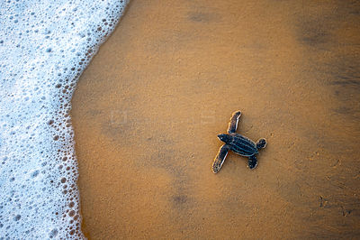 Leatherback Turtle Hatchling (Dermochelys coriacea) crossing a beach towards the sea, Cayenne, French Guiana, July