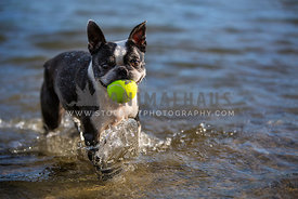 boston terrier with tennis ball in ocean