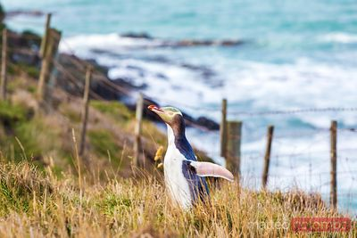 Yellow eyed penguin, Otago, New Zealand
