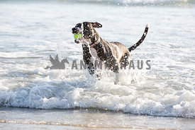 Dog splashing out of the ocean with a ball