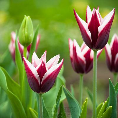 Maroon & White Tulips