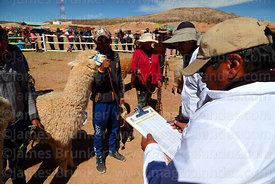 Judge checking results of laboratory analysis of wool samples from alpacas during competition, Curahuara de Carangas, Bolivia