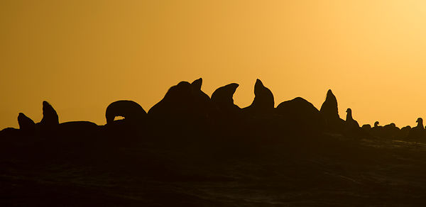 Cape Fur Seals at Dawn, False Bay, South Africa