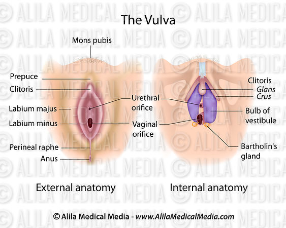 Vulva anatomy labeled