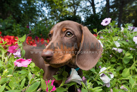 Dachshund puppy playing in flowers