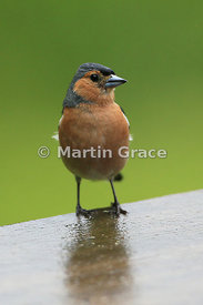 Male Common Chaffinch (Fringilla coelebs), Badenoch & Strathspey, Scottish Highlands