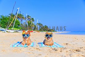 Two pomeranians sunbathing