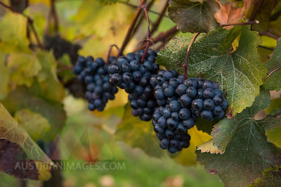 Austria, Lower Austria, Wine Quarter, Straning, vine, blue grapes in autumn
