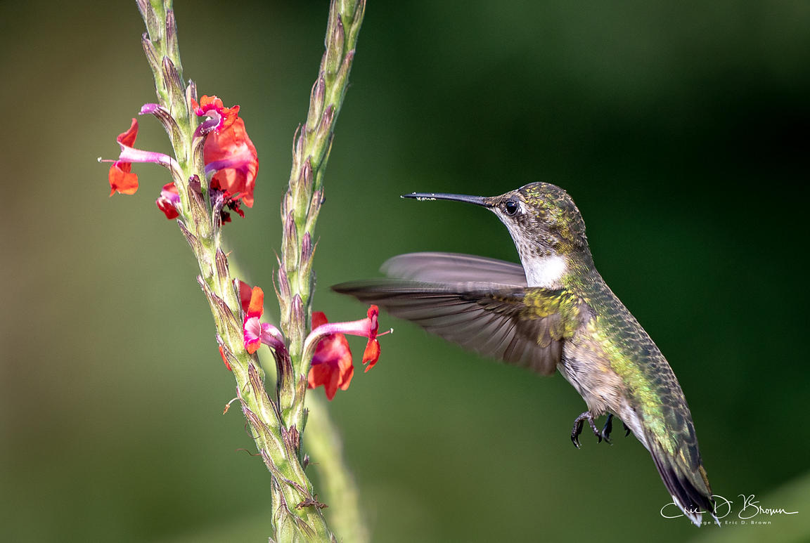 Hummingbird in Action