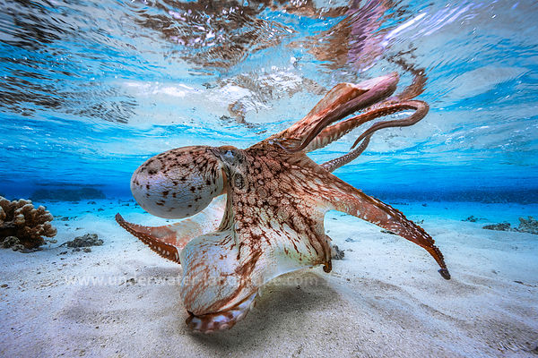 Dancing octopus - Octopus tentacles - Octopus picture - Octopus photo