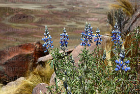 Andean lupinus species on rocky hillside near Comanche, Bolivia
