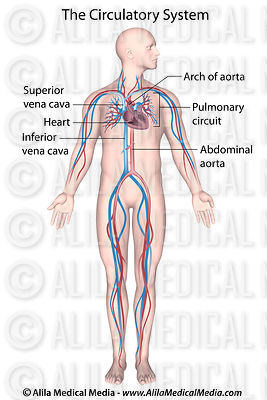 Human circulatory system labeled.