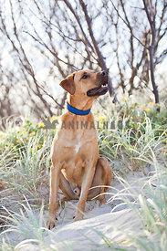 Rhodesian Ridgeback mix sitting on sand dunes