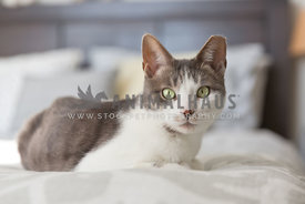 grey and white tabby on bed