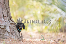 black dachshund peering out from behind tree