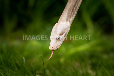 red_tail_boa_albino_tongue_out