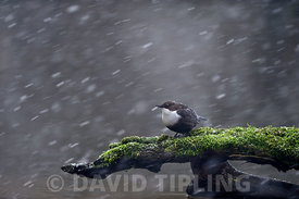 Black-bellied Dipper (Cinclus cinclus cinclus) Thetford Norfolk winter 2012/13