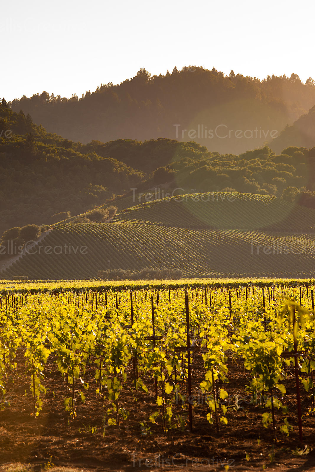 Looking across a valley floor vineyard toward a hillside vineyard in Yountville, Napa Valley