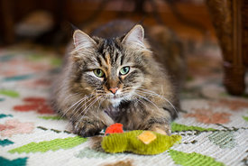 Close-Up of Long Haired Cat with Green Eyes and Toy