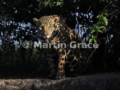 Male Jaguar (Panthera onca) known as Marley, in early morning dappled sunlight and looking directly at the photographer, Rive...