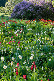 tulip meadow meadow with narcissus