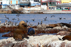 Male South American sea lion (Otaria flavescens) and red legged or Gaimards cormorants (Phalacrocorax gaimardi) , Iquique , R...