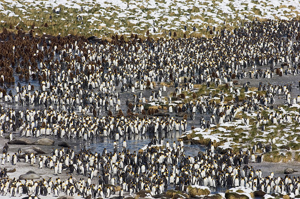 King Penguin colony {Aptenodytes patagonicus} and Elephant seals, Gold Harbour, South Georgia, November 2006