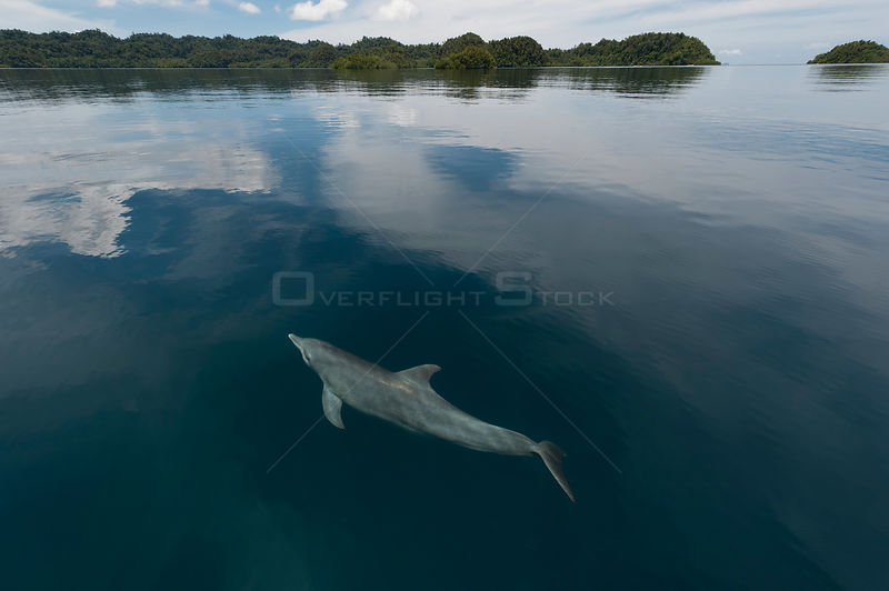 Indo-Pacific bottlenose dolphin (Tursiops aduncus) just below surface in flat calm water. Raja Ampat, West Papua, Indonesia, ...