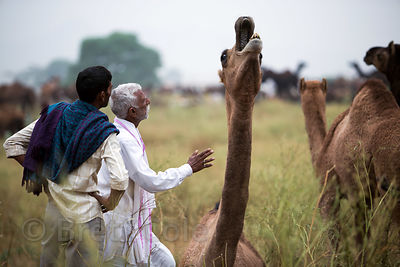 A camel cries out during the Pushkar Camel Fair, Pushkar, Rajasthan, India