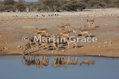 Black-Faced Impala (Aepyceros melampus petersi), Chudob waterhole, Etosha National Park, Namibia - herd of females waiting wh...