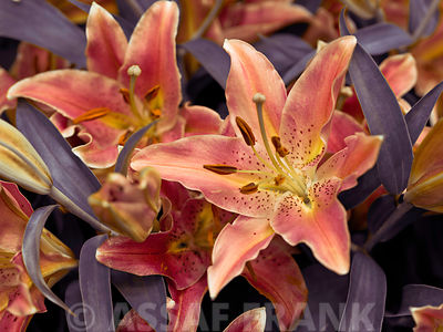 Colorful Stargazer Lily flowers