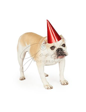 Festive Bulldog Wearing A Party Hat