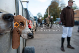 A Basset looks out of its trailer