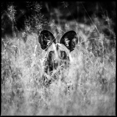 0883-Wild_dog_in_the_grass_Bostwana_2009_Laurent_Baheux