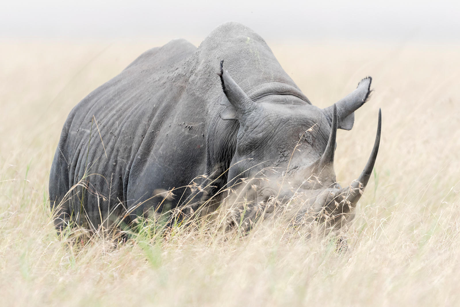Black Rhino in Tall Grass