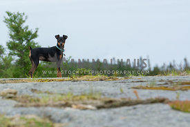 Minpin Dog Walking Outdoors