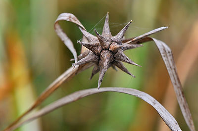 Laîche massue - Gray's sedge (Carex grayi)