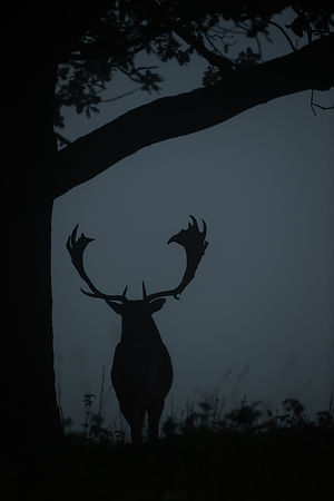 Fallow Deer Stag Silhouette