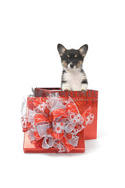Corgi puppy in red box on white background