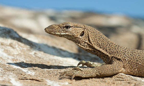 Land Monitor Lizard