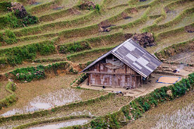 Terraced Rice Paddies in Mid-Growing Season