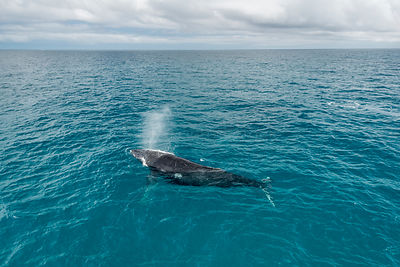 Humpback whale (Megaptera novaeangliae) surfacing during the winter/spring humpback whale migration, Hervey Bay, Queensland, ...