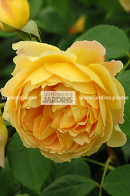 Rosa 'Golden Celebration' (Rose). Ausgold. Obtenteur : David Austin. Hampton Court. Angleterre