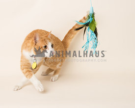 rescue orange tabby cat twirling chasing feather toy