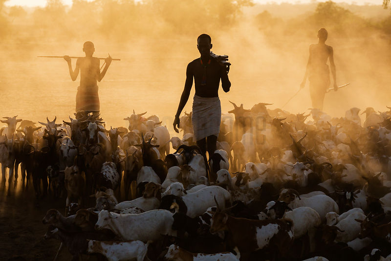 Kara Tribesmen Herding Goats and Cattle at Dawn