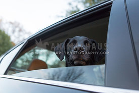 Black lab dog sticks head out the window of a car