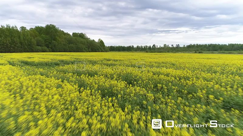 Aerial drone backwards shot flying low over a rapeseed field